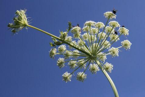 Hertswortel (Seseli libanotis),