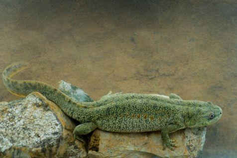 Spaanse ribbensalamanders (Pleurodeles waltl)