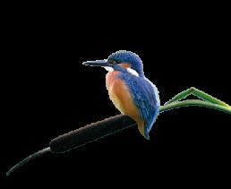 IJsvogel