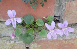 Donkersporig bosviooltje (Viola reichenbachiana)