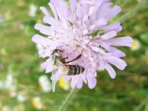 Bestuiving door bijen