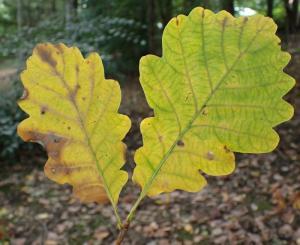 Wintereik x Zomereik - Quercus x rosacea (Q. petraea x robur)