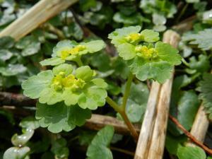 Verspreidbladig goudveil (Chrysosplenium alternifolium)