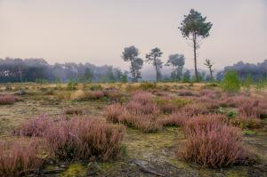 Heide in Bels Broek en Heide