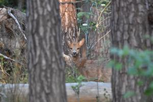 Ree in het gravinnen bos