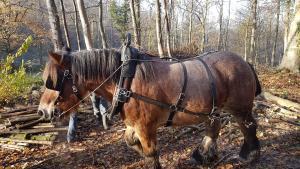 Historisch middelhoutbeheer. Afzetten van hakhout en daarna uitvoeren met boerenpaard.