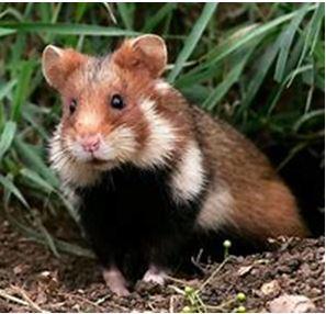 de Europese hamster
