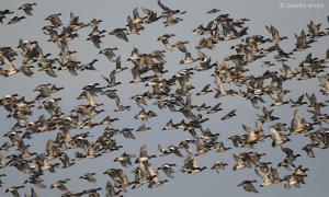 De Uitkerkse Polder een internationale luchthaven voor vogels