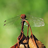 Heidelibel sp.