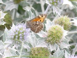 vlinders in de duinen