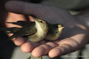 Vogelringen