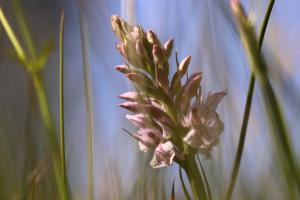 Gevlekte orchis in