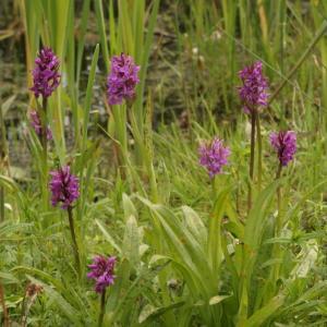 Orchideeën in de Leiemeersen