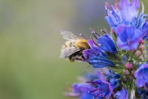 Lezing Wilde bijen met Joeri Cortens
