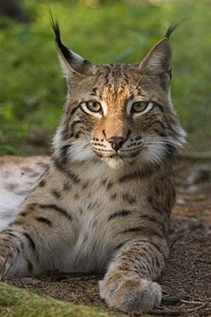 Bezoek deze Lynx in De Zonnegloed Sanctuary