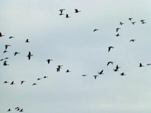 De vriezeganzen in vlucht