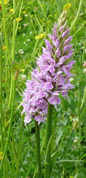 Orchideeën in de Fonteintjes