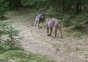 wolf en lynx