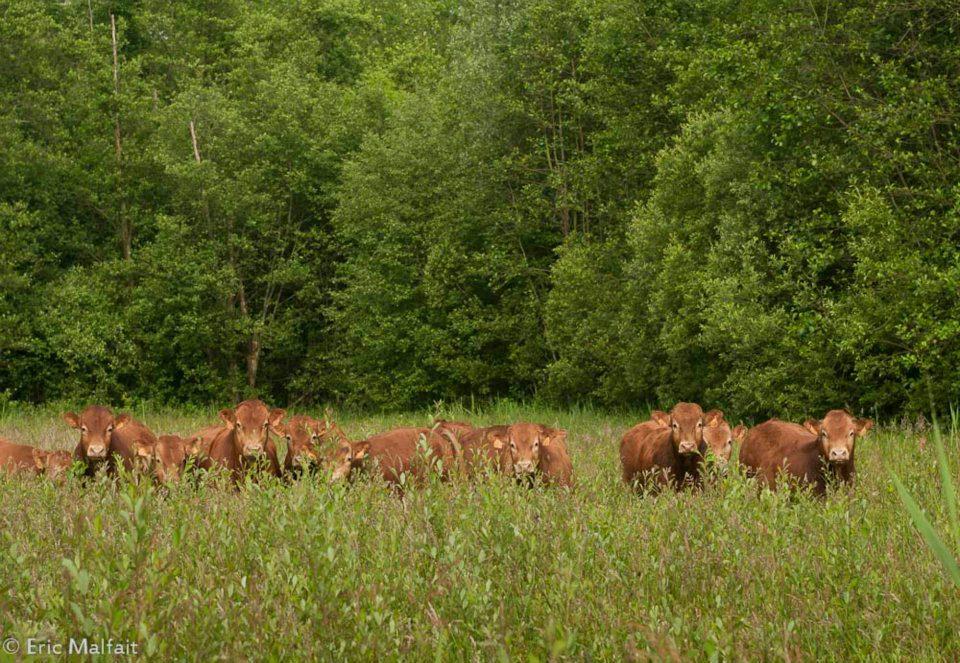 Limousin stieren grazen in het Silsombos