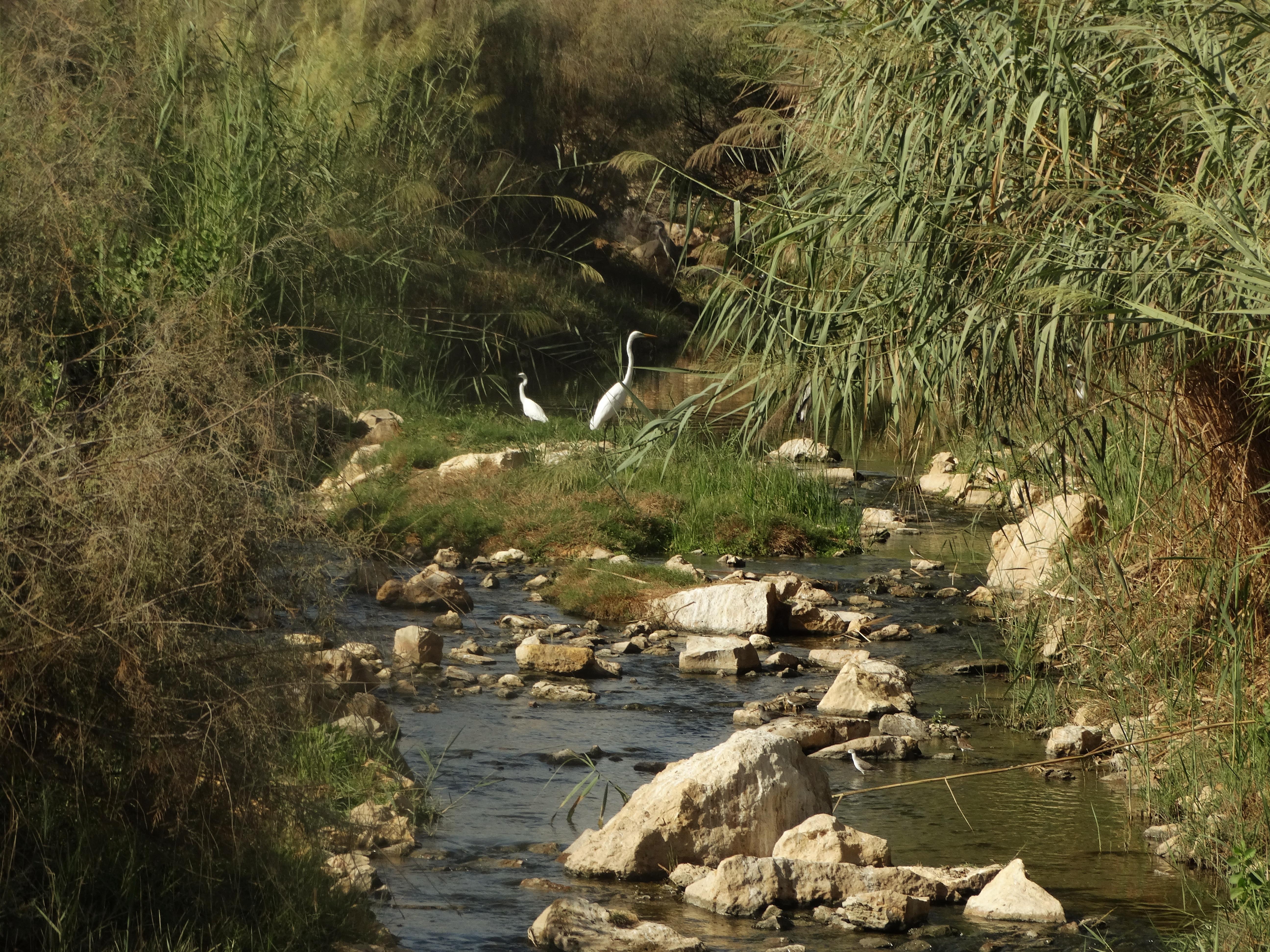 Vogelreis Oman - reigers in de kreek
