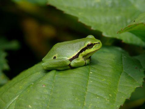 De Boomkikker de kleinste inheemse kikkersoort