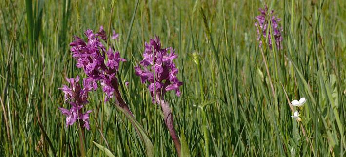 de brede orchis