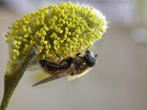 Enkele zeldzamere zweefvliegensoorten