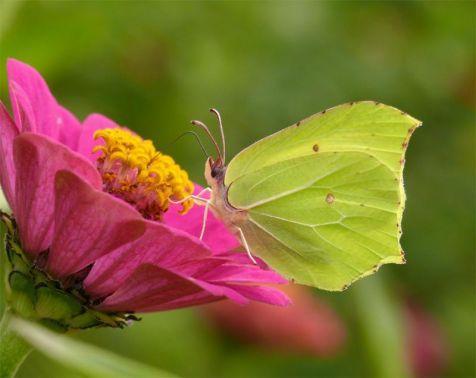 De Citroenvlinder (Gonepteryx rhamni)