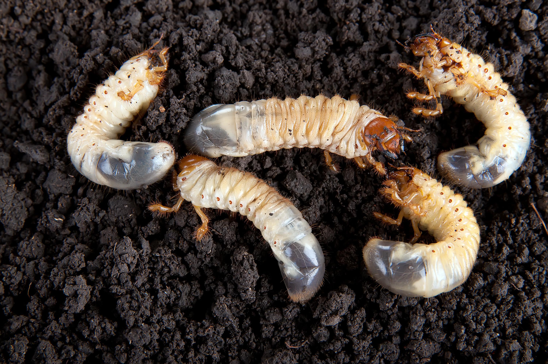 Engerlingen zijn de larven van de meikever. Ze leven in de bodem en komen nooit bovengronds.
