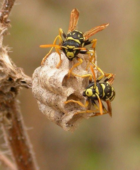 Wespen: prikbeesten of vliegenvangers?