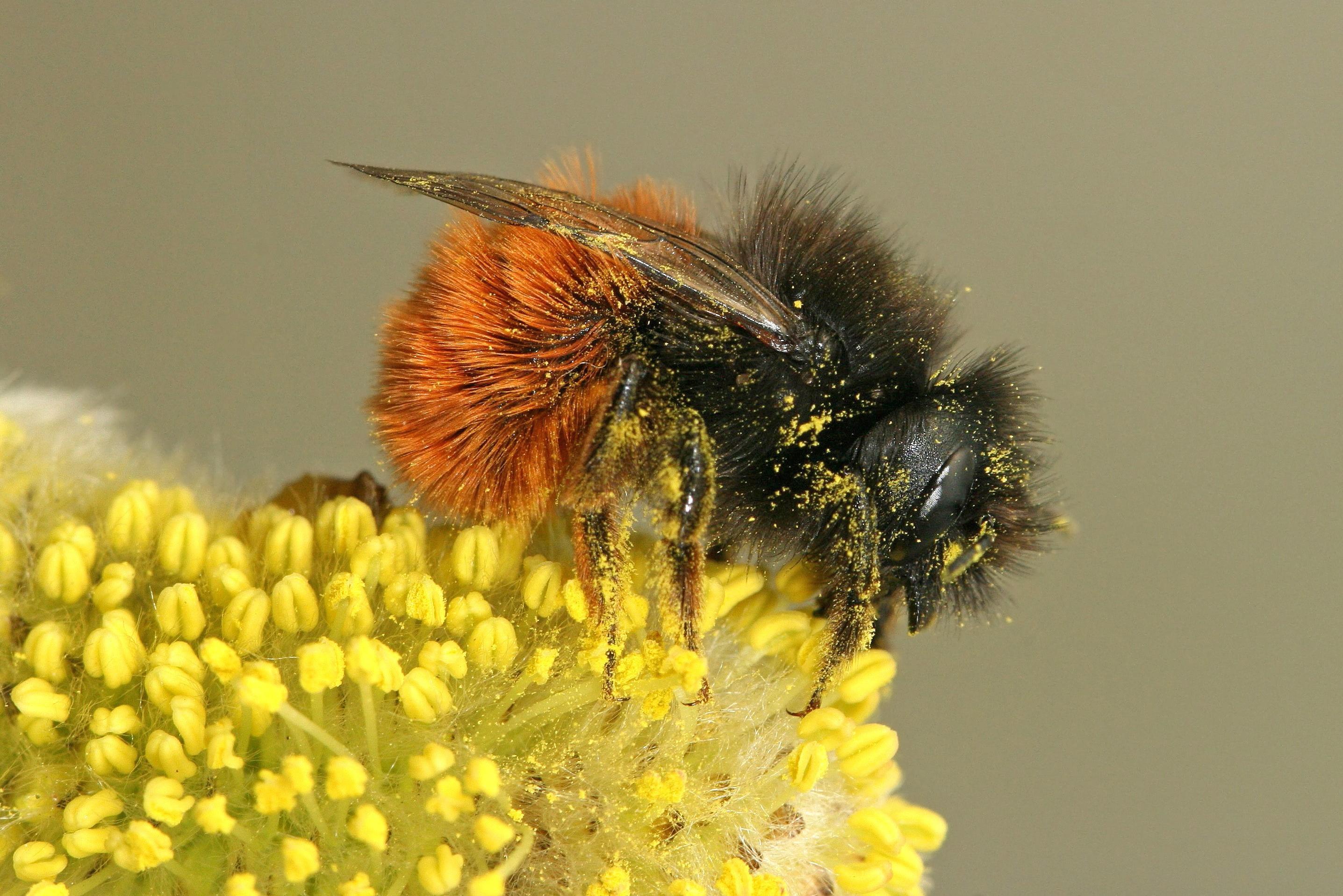 Mijn Tuin App : Hoe help je wilde bijen in je tuin natuurpunt