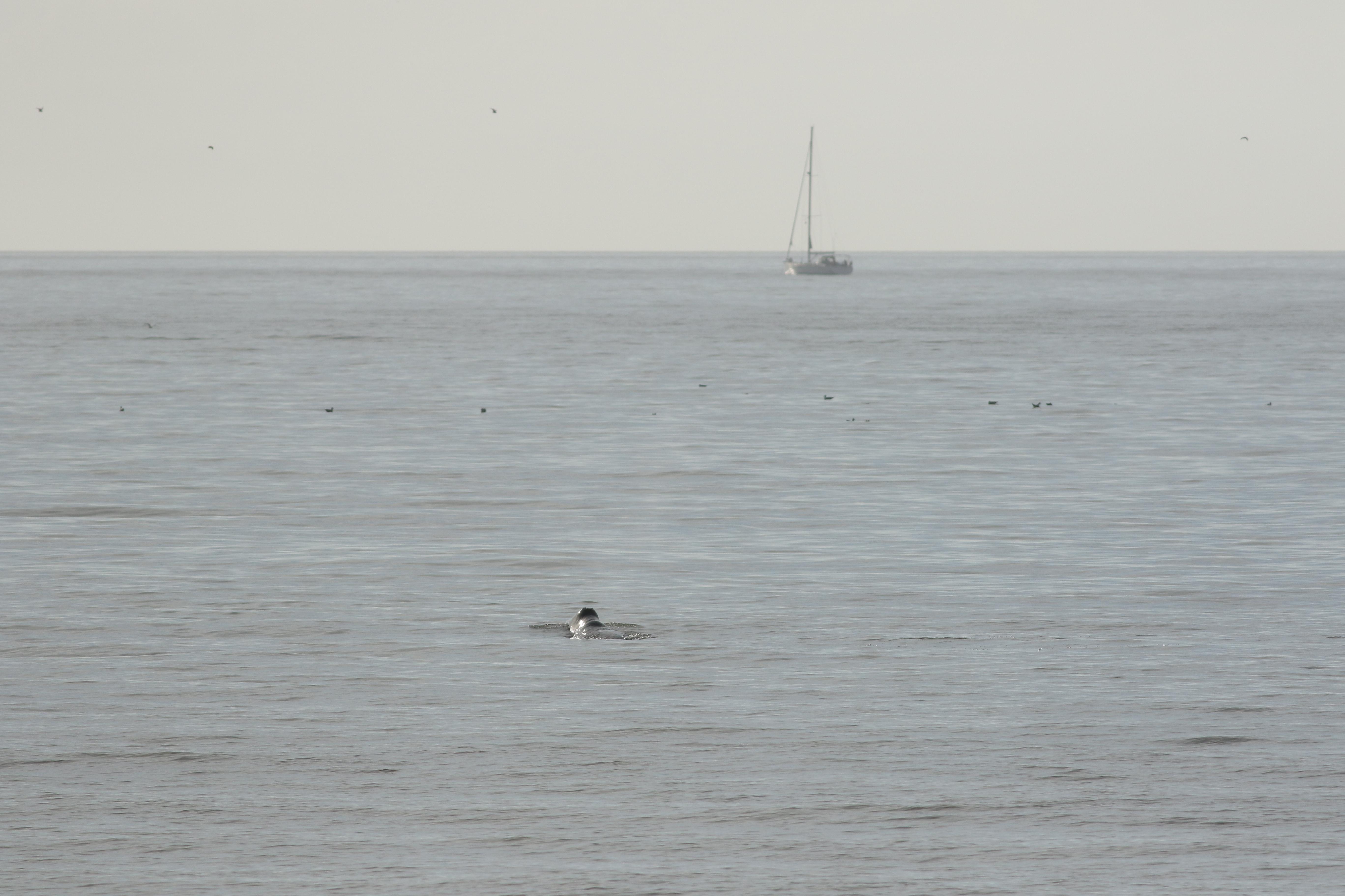 Groenlandse walvis voor de kust