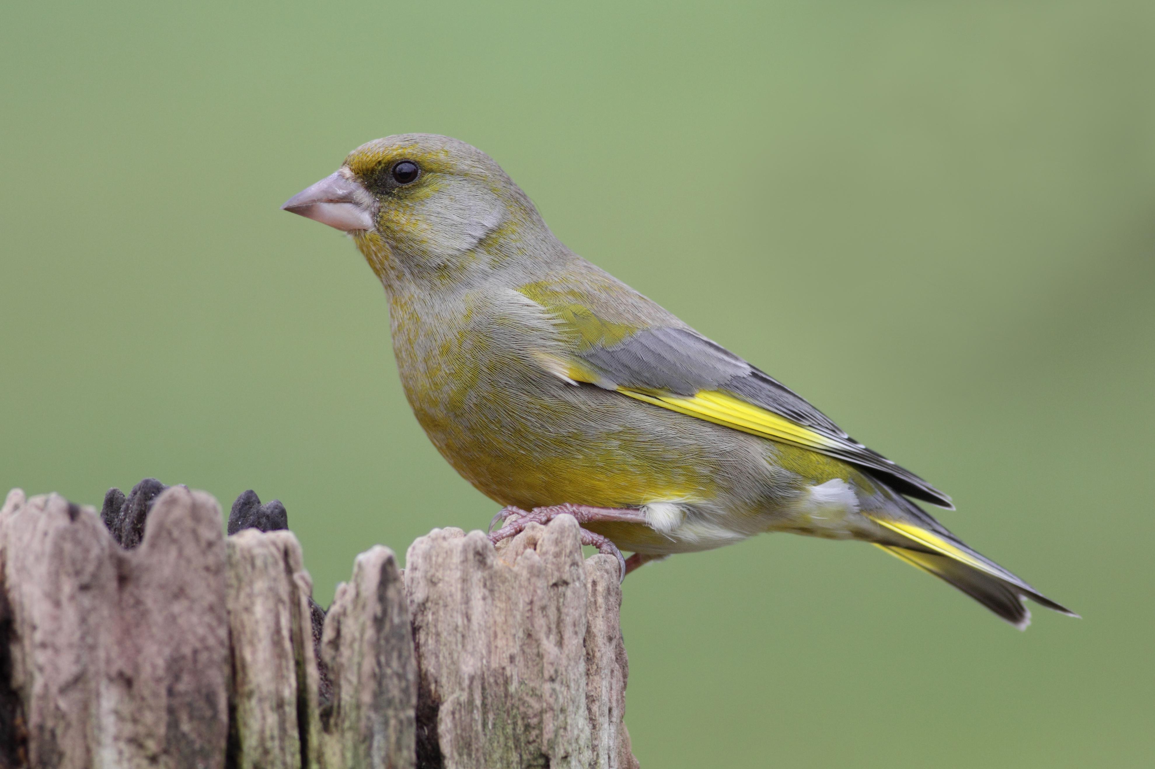 De groenling is een dikke, forse zaadeter met een stierennek. Met zijn krachtige snavel kan de vogel gemakkelijk harde zaden kraken.
