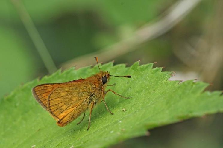 Dikkopjes zijn wat motachtige dagvlindertjes met een harig borststuk en een compacte bouw.