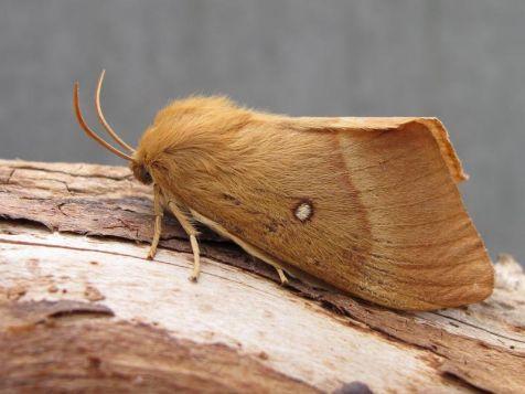 Hagenheld (Lasiocampa quercus)