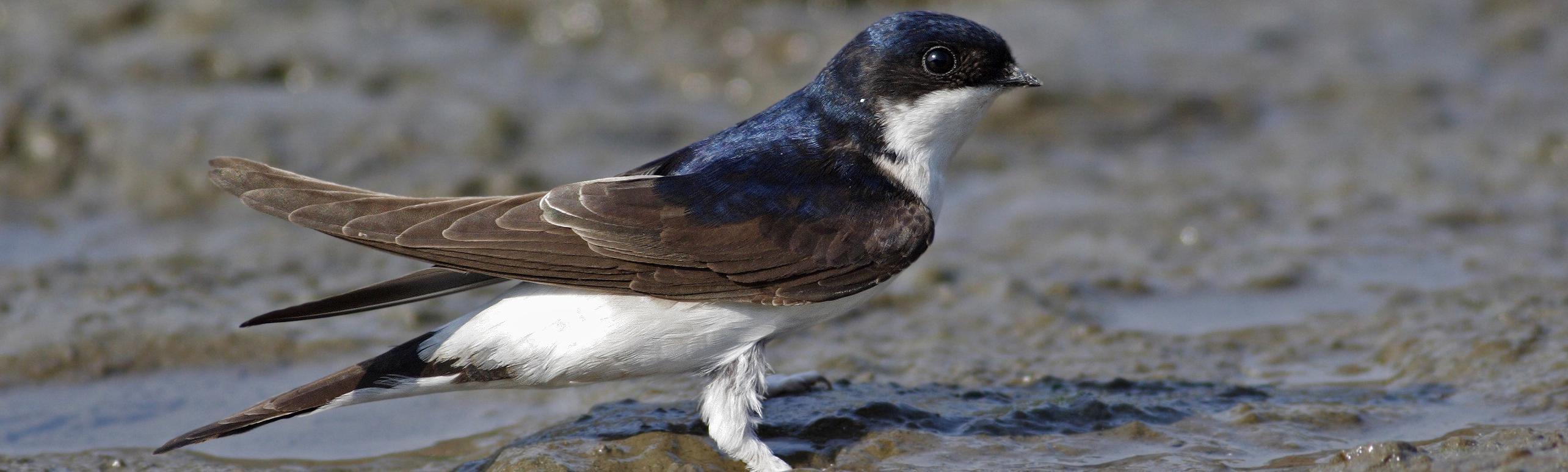 De huiszwaluw is een kleine zwart-witte zangvogel die zich thuis voelt tussen de mensen. Toch staat de soort de laatste jaren meer en meer onder druk.