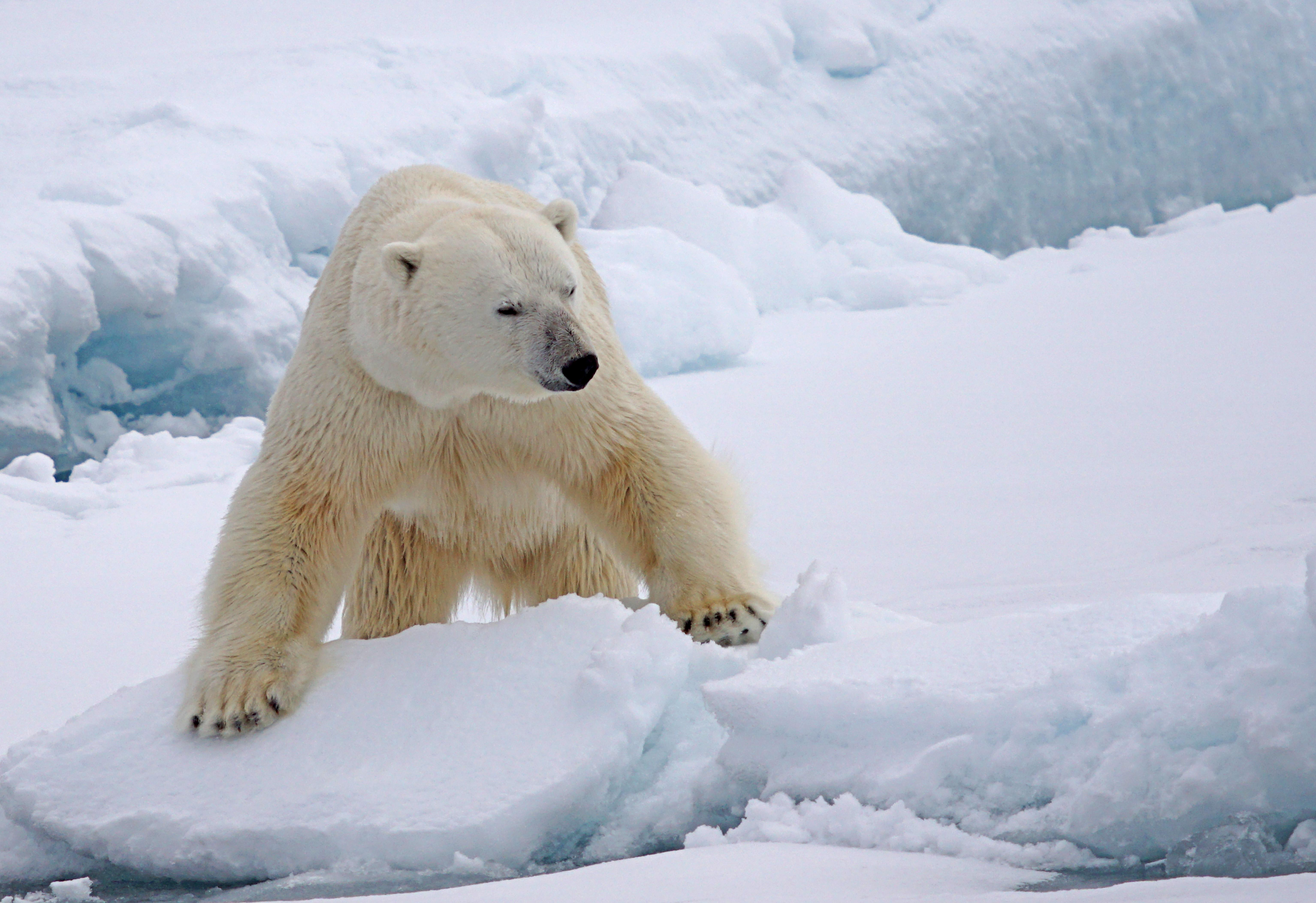 IJsbeer - North Atlantic Oddysey 2020