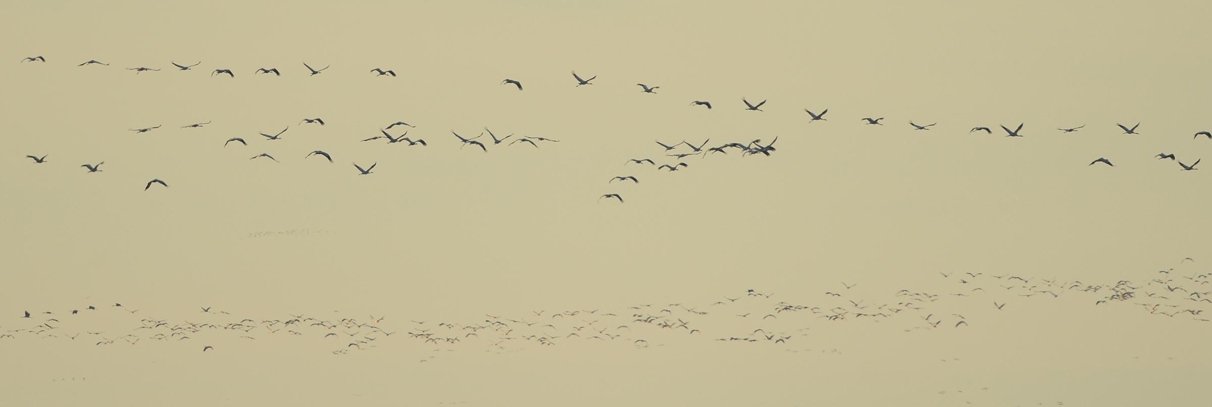 Kraanvogels_vogeltrek