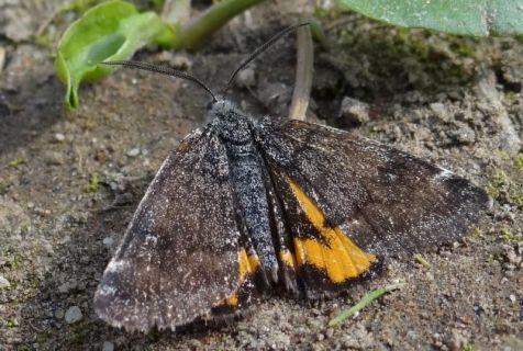 Oranje espenspanner (Boudinotia notha)