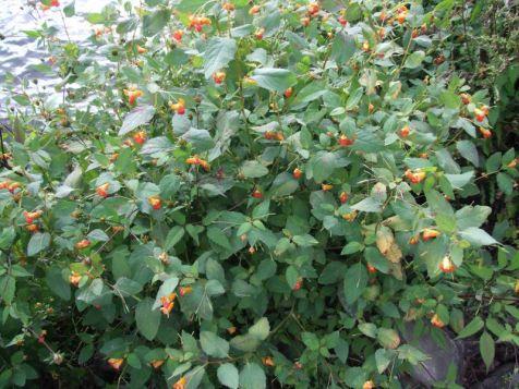 Oranje springzaad (Impatiens capensis)