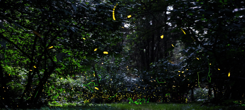 Lichtjes in de natuur: glimworen, vuurvliegjes en zeevonk - Shutterstock