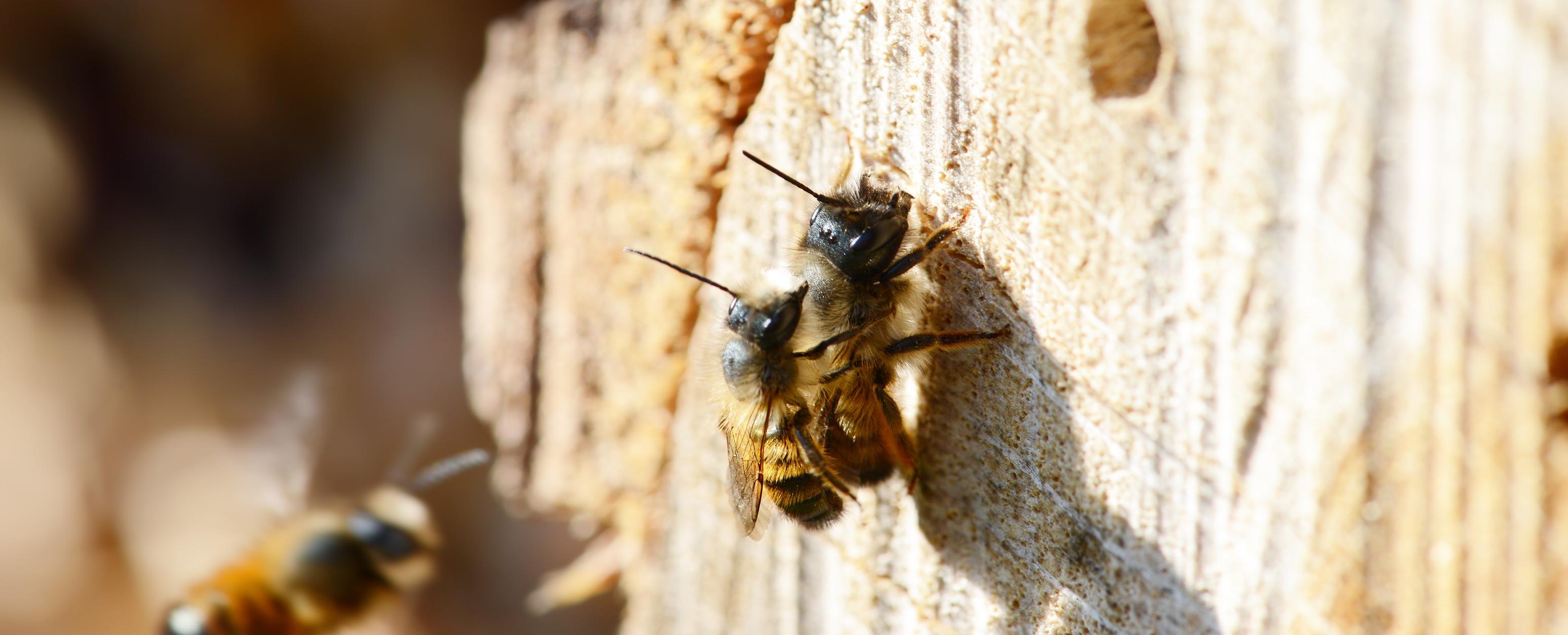 gehoornde metselbijen