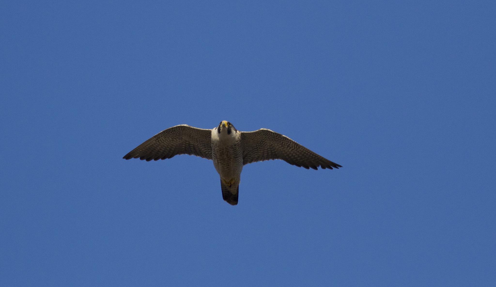 roofvogel witte kop
