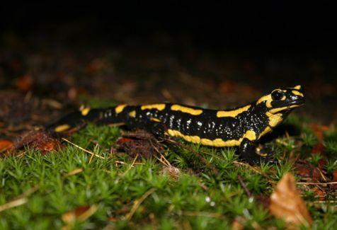 Vuurslamanders (Salamandra salamandra)