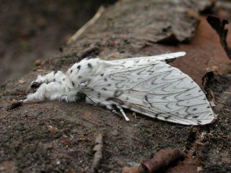 Witte hermelijnvlinder (Cerura erminea)
