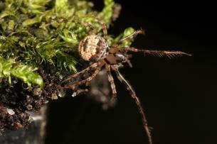 Gevorkte spinneneter