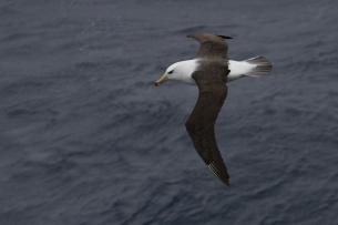Wenkbrauwalbatros in Zuidelijke Oceaan