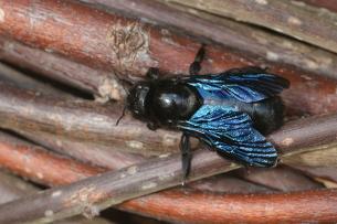Blauwzwarte houtbij