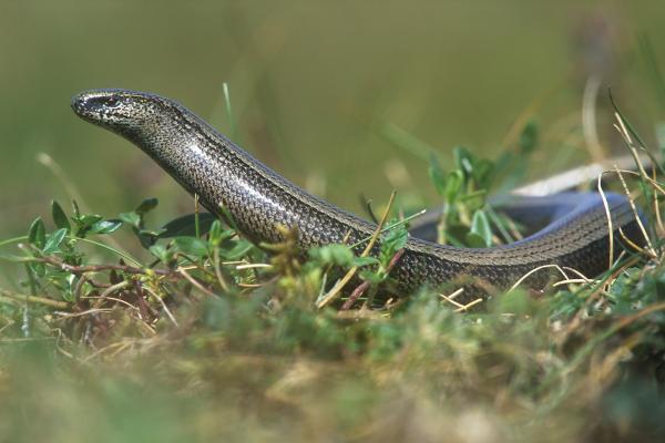 Hazelworm