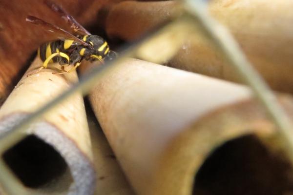 Reuzenertswesp in bijenhotel